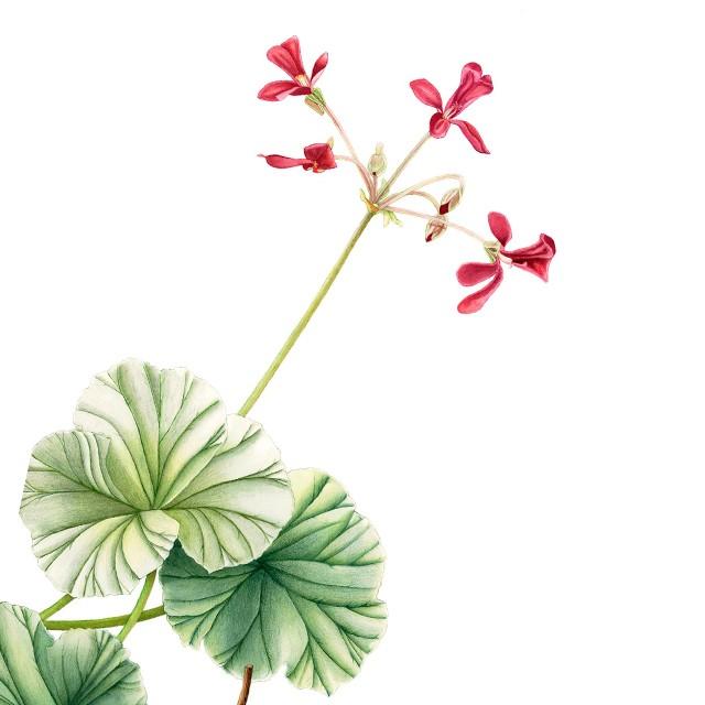¿Gripe? o ¿Resfriado? Pelargonium sidoides